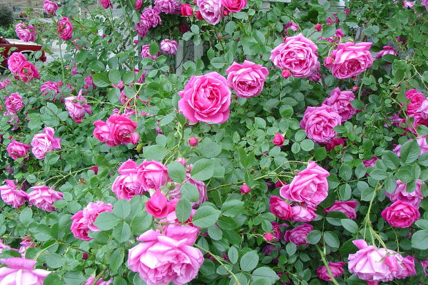 Healthy Roses Are Paramount to Flowerlink