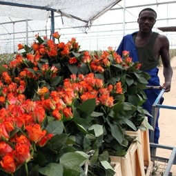 Kenyan Roses: A Blossoming Industry?