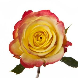 Flowerlink's Roses Against Bermuda's Best