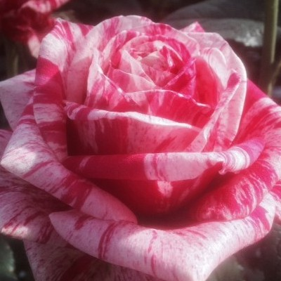 New Rose Varieties From Schreurs!