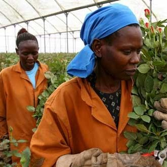 Daily Mirror Looks at Kenyan Cut Roses