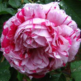 Wholesale Roses Fresher for Longer