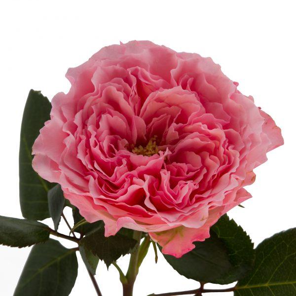 Mayras Rose