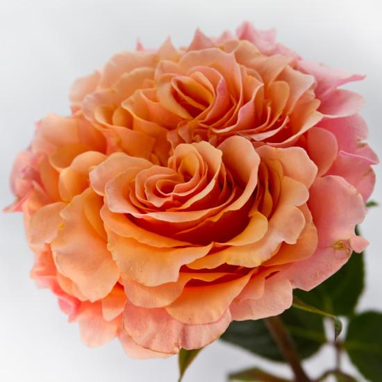 Roses In Garden: Flowerlink