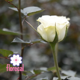Florecal Rose Farm Video