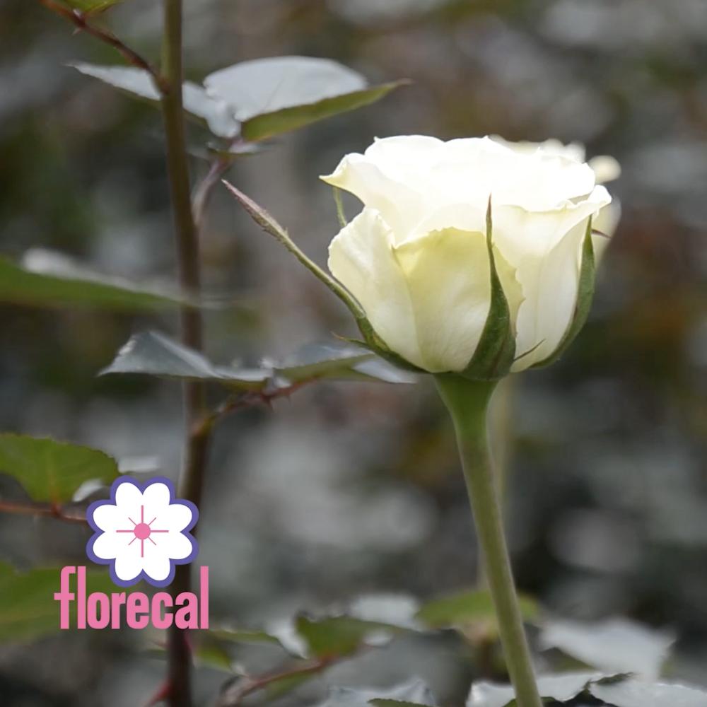 Florecal Rose Farm Video