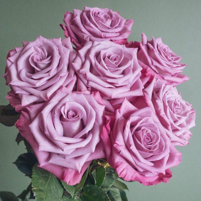 Popular Lavender Rose Varieties Flowerlink
