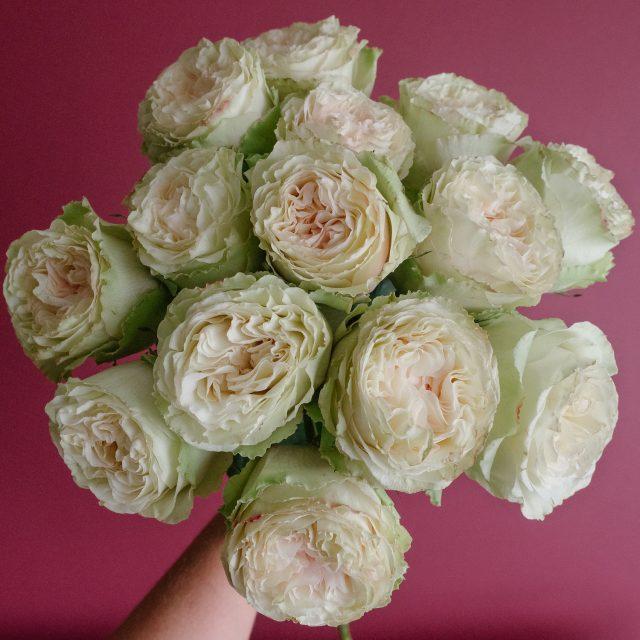 Green Rose Variety Mayras Green