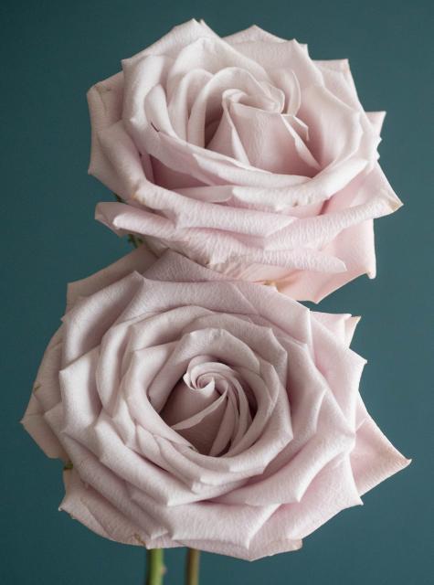 Menta Rose Variety