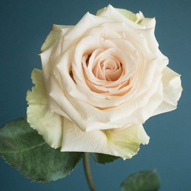 Sahara Rose Variety