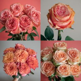 "Pantone Color of the Year ""Living Coral"" Inspired Rose Varieties"