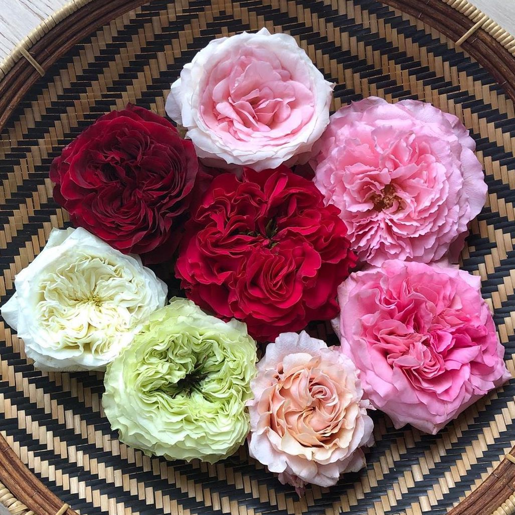 Mayra's Garden Rose Study
